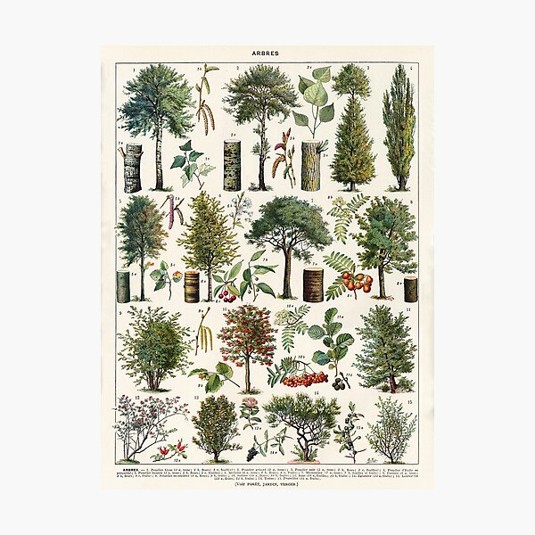 Adolphe Millot - Arbres B - French vintage botanical poster Photographic Print