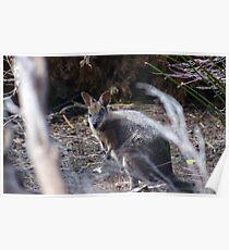 Tammar Wallaby in Wildlife Corridor - Kangaroo Island Poster