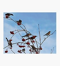 Robins in the Winter Photographic Print
