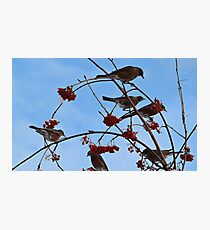 December Robins Photographic Print