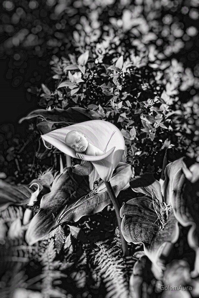 ... the calla lilies are in bloom again. by GolemAura