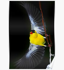 American Goldfinch Spread Flying Poster