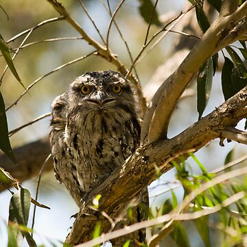 Australian Wildlife - Tawny Frogmouth Youngsters by reflector