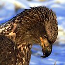 Young Bald Eagle by Mike Shero