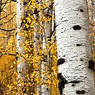 Aspen Grove Detail by David Kocherhans