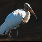 Wood Stork by glink