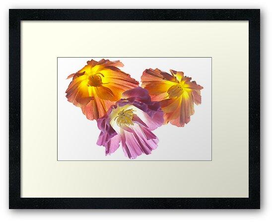 California Poppies by John Holding