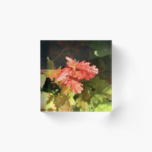 Oak awakening in Spring Acrylic Block