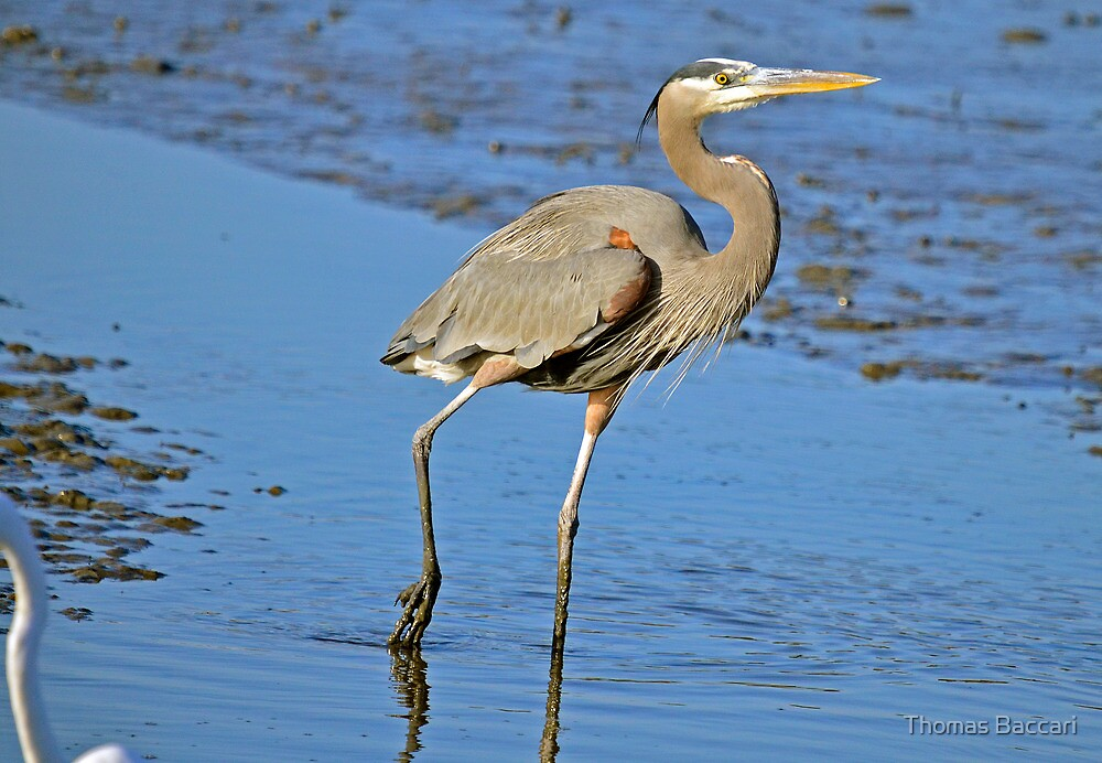 MUDDY FEET (Great Blue Heron) by TJ Baccari Photography