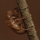Cicada shell by MiloAddict