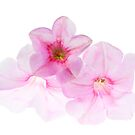Petunia's by John Holding