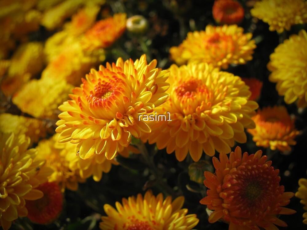 Kasımpatı (chrysanthemum) by rasim1