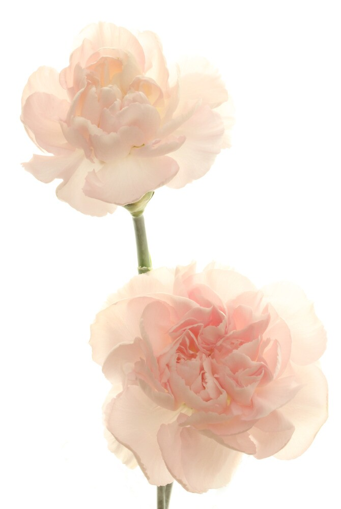 Just Pink Carnations  by Lynn Gedeon