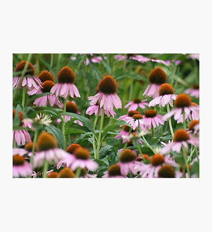 Her Majesty's Coneflowers (STATOU: CTheWorld) Photographic Print