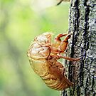 Cicada Shell by Pandrot