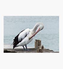 Pelican 0001 Photographic Print