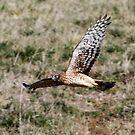 Northern Harrier by Dennis Cheeseman