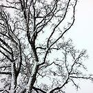 Oak in black and white by AbigailJoy