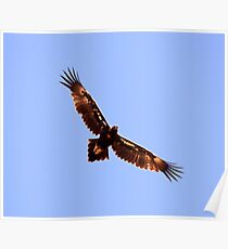 Wedge Tailed Eagle In Flight  , found 18 in a flock  Poster