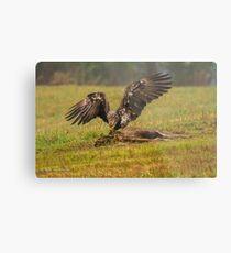 Vancouver Island Bald Eagle Metal Print
