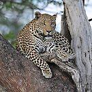 Leopard Botswana Chobe National Park by vawtjwphoto