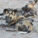 Painted Wolf Kalahari Grasslands Predator Project by vawtjwphoto