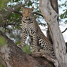Leopard Chobe National Park Botswana by vawtjwphoto