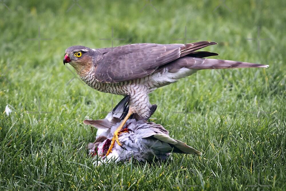 Sparrow Hawk on kill by Geoff Carpenter