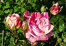 Roses in the summer sun by LoneAngel