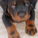 Young Male Rottweiler Making Eye Contact by taiche