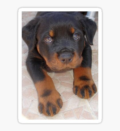 Young Male Rottweiler Making Eye Contact Sticker