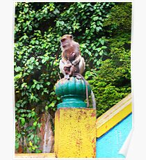Cynomolgus monkey 5 Poster