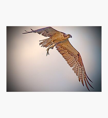 Osprey Snags a Fish Photographic Print