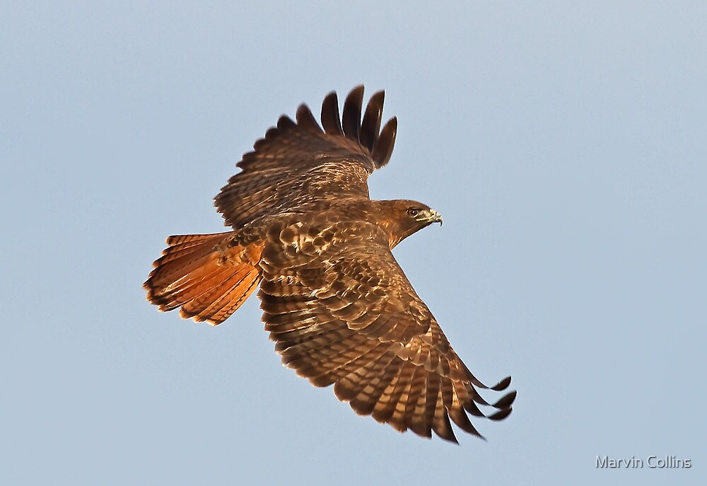 011611 Red Tailed Hawk by Marvin Collins