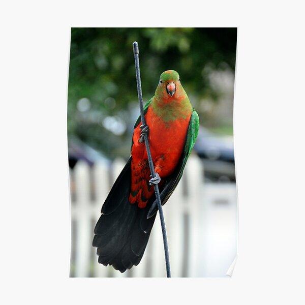 King Parrot Poster