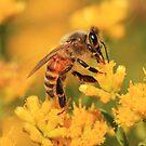 Honeybee On Goldenrod ~ by Renee Blake
