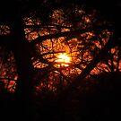 Sunset Through Conifer by Chris Samuel