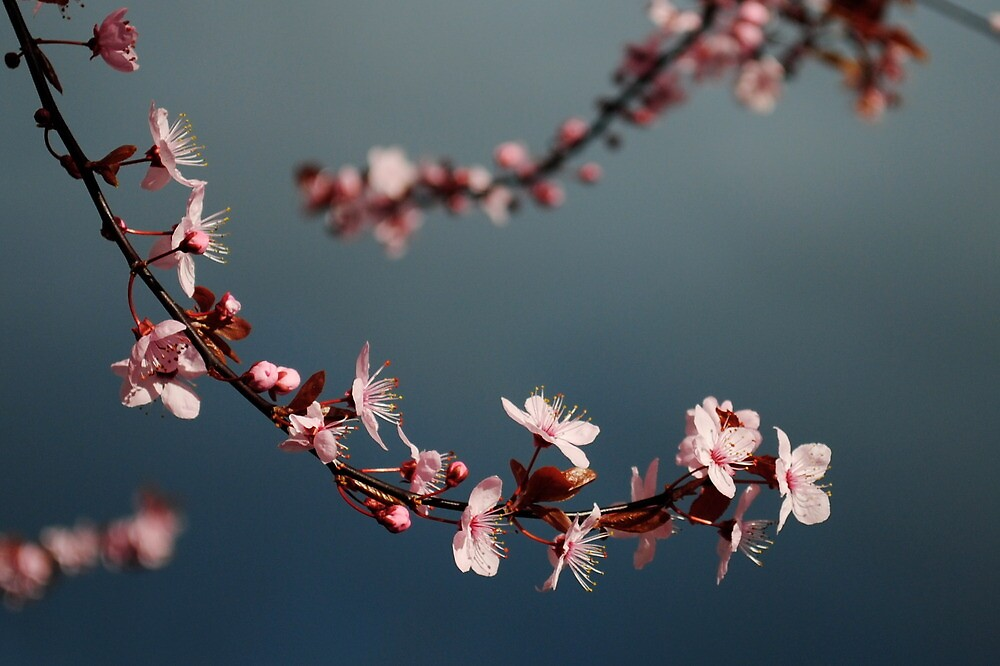 Blossoms in a Stormy Sky by catherinecachia