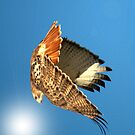 Red Tailed Hawk by Brad Sumner