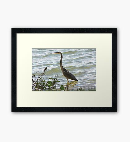 Wading Great Blue Heron Framed Print