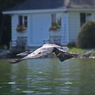 Flying Great Blue Heron by Thomas Murphy