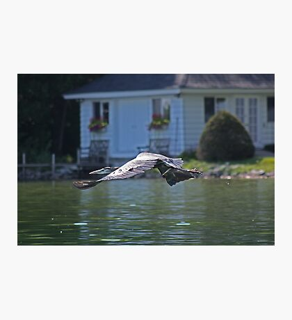 Flying Great Blue Heron Photographic Print