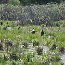 Sandhill Crane Habitat by Thomas Murphy