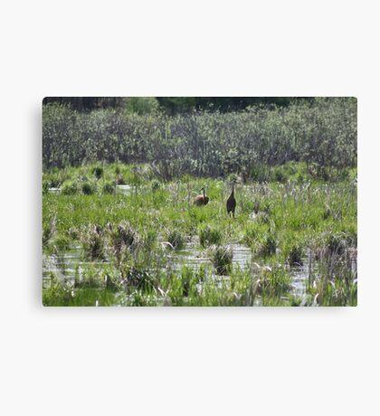 Sandhill Crane Habitat Canvas Print