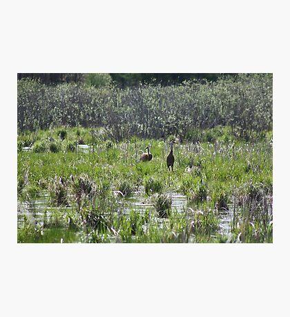 Sandhill Crane Habitat Photographic Print