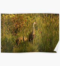 Sandhill Cranes on shore of Lake Poster