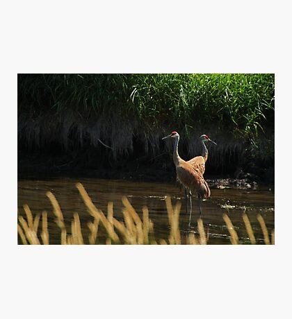 Sandhill Cranes Wading Photographic Print