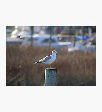 Seagull - Murrells Inlet, SC   USA Photographic Print