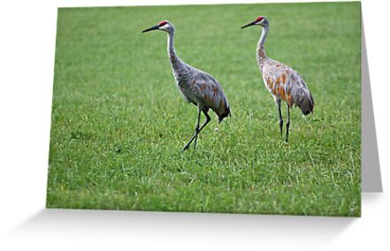 Sandhill Cranes in Grass Field by Thomas Murphy