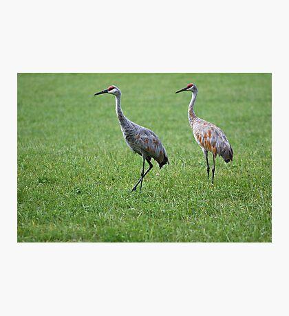 Sandhill Cranes in Grass Field Photographic Print